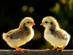 Цыплята, утята, гусята, бройлеры