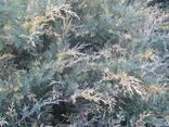 Декоративные хвойные и лиственные растения