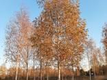 Деревья Крупномеры, лиственные и хвойные - фото 2
