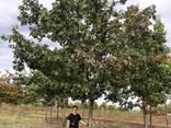 Деревья Крупномеры, лиственные и хвойные - фото 4