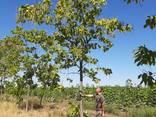 Деревья Крупномеры, лиственные и хвойные - фото 6