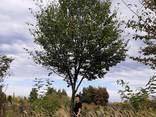 Деревья Крупномеры, лиственные и хвойные - фото 7