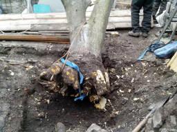 Дешево выкорчевываем удаляем пни, валим деревья