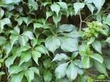 Девичий виноград (партеноциссус) пятилисточковый