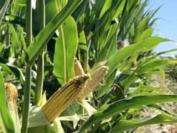 Семена кукурузы ДН Страйд (ФАО 230) Урожай 2021