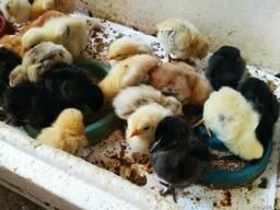 Домашние цыплята мясо-яичных пород