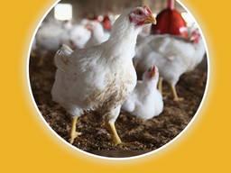 Домашняя курица живым весом. Бройлер подрощенный. Доставка с фермы