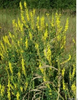 трава буркун фото