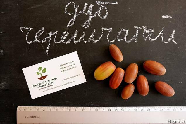 Дуб черешчатый семена(10шт)(дуб обыкновенный или английский)