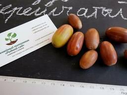 Дуб черешчатый семена(10шт)(дуб обыкновенный или английский) - фото 2