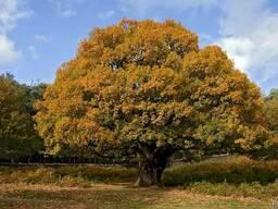 Дуб черешчатый семена(10шт)(дуб обыкновенный или английский) - фото 3