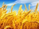 Экспорт зерно Пшеница Кукуруза ячмень мука фуражное масло - photo 1