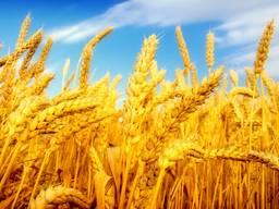 Экспорт зерно Пшеница Кукуруза ячмень мука фуражное масло