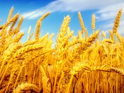 Экспорт зерно Пшеница Кукуруза ячмень мука фуражное
