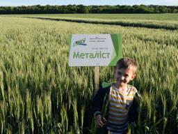 Елітне насіння озимої пшениці Металіст - стабільний врожай