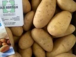 Элитный семенной картофель Ривьера, Пикассо, Гранада, Беллар