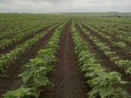Семена Подсолнечника ЕС Саксон (под Гранстар)