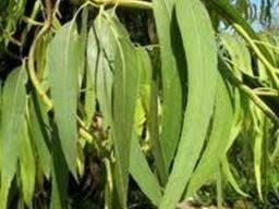 Евкаліпт прутовидний,листя
