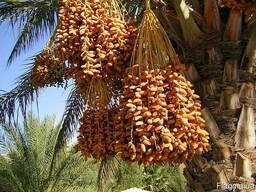 Финики 1 сорт на веточке производство Алжир