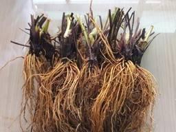 Фриго Саженци клубники Азия (Asia)- суперурожайная,