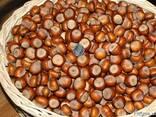 Фундук Трапезунд семена для проращивания - фото 2