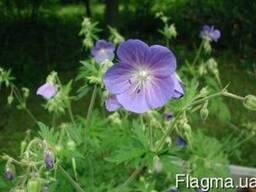 Герань луговая (Geranium pratense)