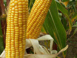 Гибрид кукурузы КВС 381 ФАО 350