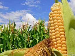 Гибрид кукурузы Семена кукурузы Канадские насіння кукурудзи