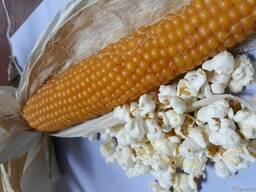 Гибридные семена кукурузы попкорн