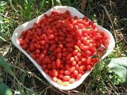 Годжи тибетский, ягоды долголетия