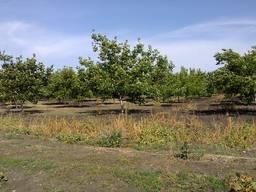 Горіховий сад, Миколаївська область, 56 га