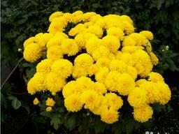 Хризантемы разные, рассада.