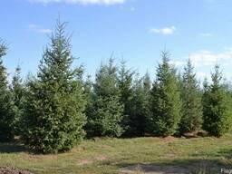 Хвойные деревья (Псевдотсуга) - фото 2