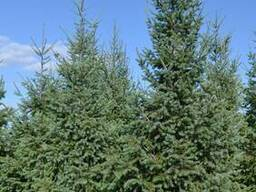 Хвойные деревья (Псевдотсуга) - фото 3