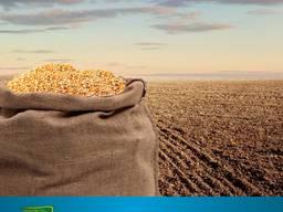 Імпортні насіння кукурудзи ДКС 3939, ДКС 4695, ДКС 3420