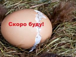 Инкубационное яйцо разных пород. Всегда в наличии