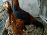Инкубационное яйцо кур Иранский Лари - фото 4
