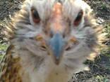 Инкубационное яйцо кур породы-Араукан, фото 3