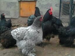Инкубационное яйцо кур породы кохинхин(чёрный-голубой)