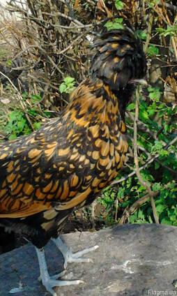 Инкубационное яйцо кур породы Падуан золотой чёрно окаймлённ
