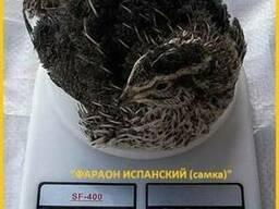Инкубационное яйцо перепела и молодняк Фараон Испанский.