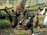 Инкубационное яйцо утки индийский бегунок - фото 2