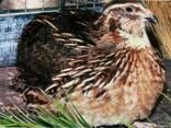 Инкубационные яйца перепела Фараон, мясо-яичные, лучшие - фото 1