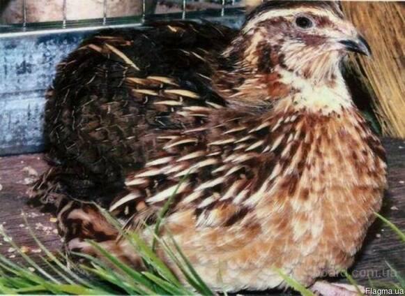 Инкубационные яйца перепела Фараон, мясо-яичные, лучшие