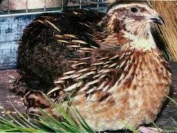 Инкубационные яйца перепела Фараон, мясо-яичные, лучшая поро