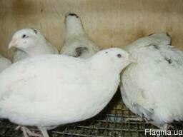 Инкубационные яйца перепелов породы Техасский белый