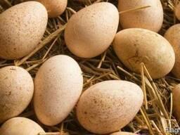 Інкубаційні яйця індиків БІГ-6 з доставкою по Україні