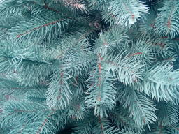 Искусственная елка голубая Президентская, 1, 5 м