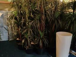 Искусственные пальмы на прокат