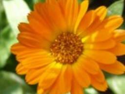 Календула лекарственная,цветок.Нагідки лікарські,квіти.